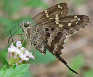 12-Long-tailedSkipper.jpg