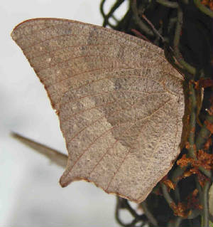 172-GoatweedLeafwing-2.jpg