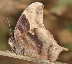 177-Pale-spottedLeafwing-10.jpg