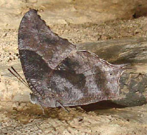 179-Pale-spottedLeafwing-7.jpg