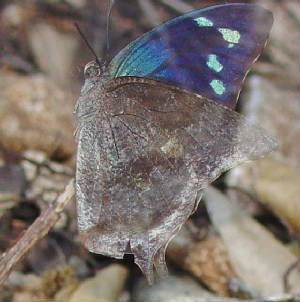 180-Pale-spottedLeafwing-2.jpg