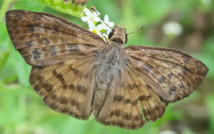 40-Brown-bandedSkipper.jpg