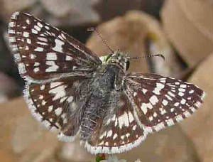 60-WhiteCheckered-Skipper-1.jpg