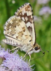 61-WhiteCheckered-Skipper-.jpg