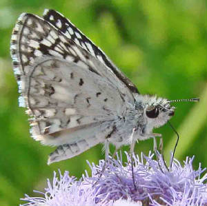 63-DesertCheckered-Skipper.jpg