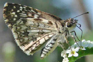 65-TropicalCheckered-Skipper.jpg