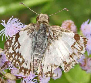 70-East-MexicanWhite-Skipper.jpg