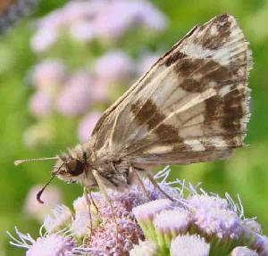 71-East-MexicanWhite-Skipper.jpg