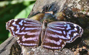 78-MexicanBluewing-13.jpg