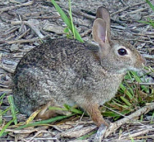 8-EasternCottontail-1.jpg