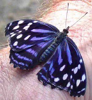 80-MexicanBluewing-3.jpg