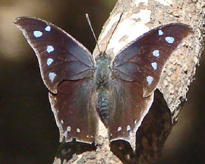 Pale-spottedLeafwing-16.jpg