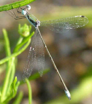 RainpoolSpreadwing-2.jpg